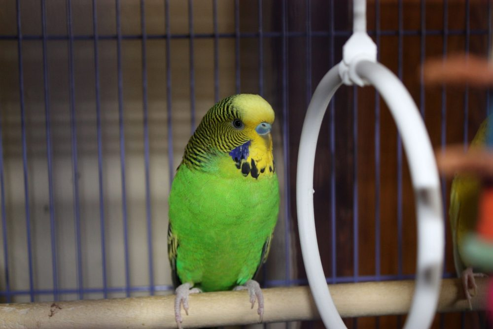 6582639 - a parakeet sitting on a wooden bar in his cage waiting for food