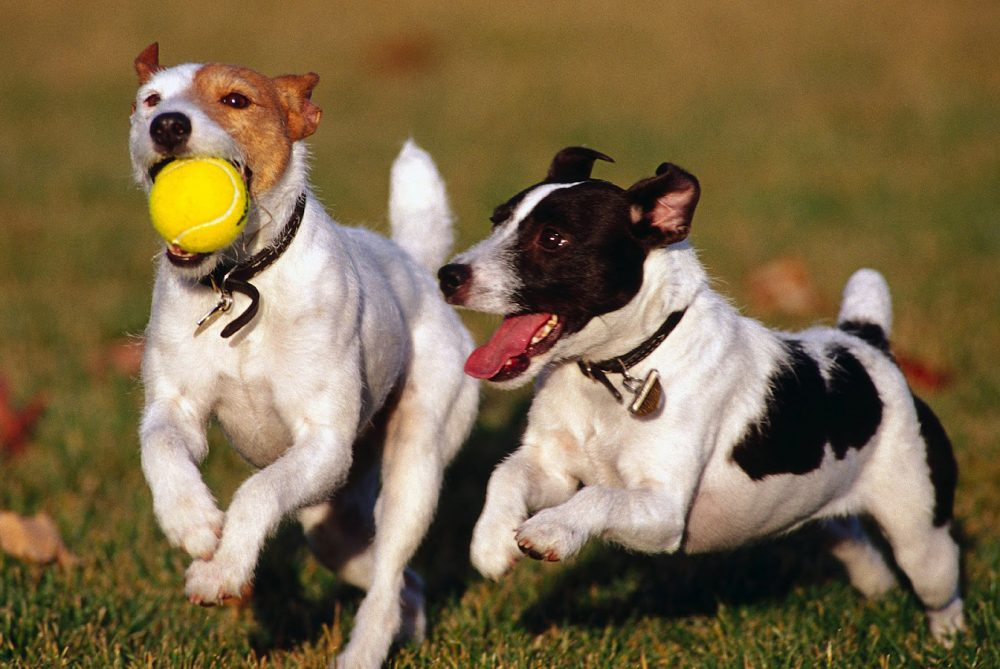 dogs-ball