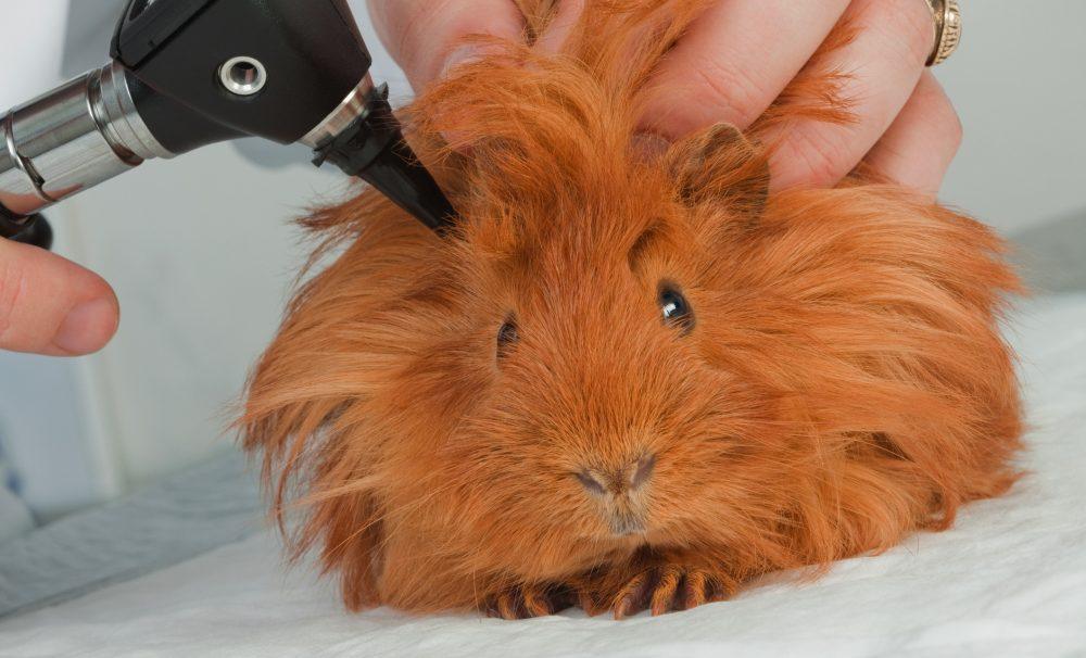 guinea-pig-vet